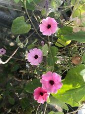 Thunbergia alata Arizona Rose Sensation pint plant