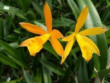 Orchid Fragrant Cattleya Lc Trick or Treat x B nodosa near spike Plant