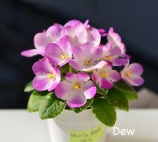 Variegated Miniature African Violet 'Shirl's Red Sky' - Starter Plant