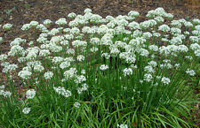 Chive Seeds, Garlic Chive (200 seeds) - Organic Heirloom from Life-Force Seeds