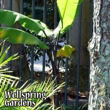Musa Thai Black Banana Plant Live Fruit Tree tropical
