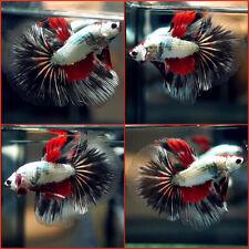 New listing Live Betta Fish Black Red Dragon Halfmoon Hm Male A884