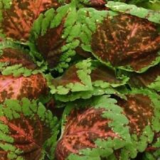 15 Pelleted Seeds Coleus Kong Salmon Pink Giant Coleus Seeds