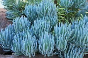 """5x Senecio Vitalis Blue Chalk Fingers Mermaids Tail Live Succulent Plant 6"""" Cuts"""