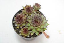 Pianta di SEMPERVIVUM SOSNOWSKYI Succulente Piante grasse succulenti vaso 10
