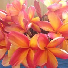 10 Rare Orange Pink Plumeria Seeds Plants Flower Lei Hawaiian Garden Fragrant