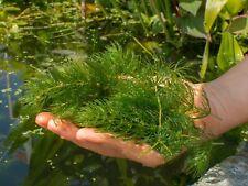 Pond Aquarium Plant -  Hornwort -  Ceratophyllum demersum