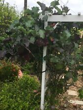 Two Fresh Perennial Purple Tree Collard Cuttings GREAT LOW PRICE!! EASY TO ROOT