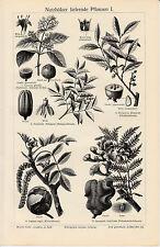 1895 Antique Original Lithograph Print Meyers Ebony Teak Walnut tree Jacaranda