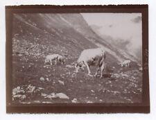 PHOTO ANCIENNE Vache Troupeau de vaches Alpage Montagne vers 1900 Cloche