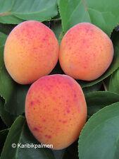 Riesen-Aprikose 'Bergeron'- winterharte Pflanze 160-180cm im Topf - Früchte