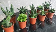 10 Aloe Vera Indoor Plants In 5.5cm Pots