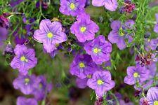 Cupflower accappatoio viola - 1300 semi-nierembergia hippomanica-cesti appesi