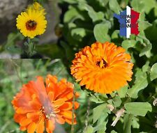 CALENDULA OFFICINALIS MIX MARYGOLD  BIO DE  FRANCE LOT DE 200 GRAINES