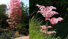 Toona sinensis (Chinese Mahogany / Red Toon) EXTREMELY RARE - 10 Fresh seeds
