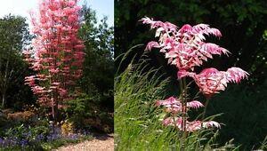 Toona sinensis (Chinese Mahogany / Cedar) 10 Tree Seeds •RARE Bonsai Garden UK