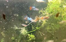 Assorted 10 Count - Live Aquarium Guppy Fish High Quality -  Fancy/Endler Hybrid