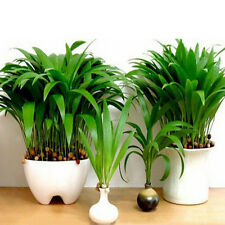 'Little Forest' Chinese Fan Palm (livistona chinensis) 10 Seeds Local Farmer