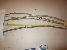 "4 CUTTINGS ~ 23"" EA Moringa Oleifera Miracle Drumstick Horseradish Tree Plant"