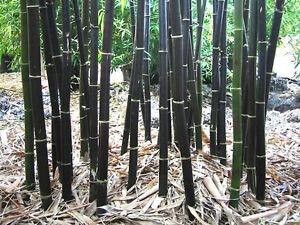 Black Bamboo Seeds Phyllostachys Nigra 100+ Rare Fresh seeds