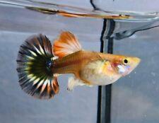 3 Pair Guppy Dragon Fire Half Moon Live Fish Male&Female Pet Supplies Aquariums