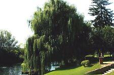 SALIX BABYLONICA 1 pianta vaso quadro Salice piangente salice di Pechino pianta