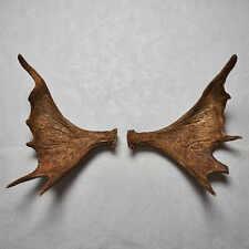 Moose Antler Sheds Pair - Taxidermy Antlers Mount, Horns, Skull, Carving - Decor