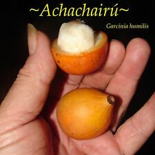 ~Achachairu~ Garcinia humilis ~HONEY KISS~ Fruit Tree Live Small Potted Plant