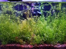 *10 Stems* Pearlweed - Hemianthus Micranthemoides (Freshwater Aquarium Plant)