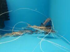 Paraiba Catfish  @malonesmonsters