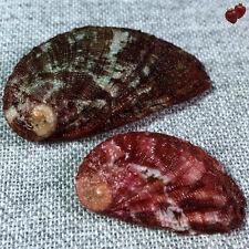 Haliotis Tubercolata lamellosa, Elba Isl., Tuscany, 28,6+40,7 mm, DELICIOUS SET