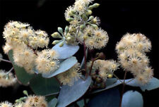 Silver-leaved Ironbark (Eucalyptus melanophloia) 60 Fresh Seeds