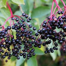 Bob Gordon Elderberry Bush - Fruit Shrub - 1 Plant in 2 Gallon Pot