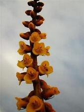 DYCKIA CHORISTAMINEA. exotic terrestrial bromeliad rare succulent seed 10 seeds