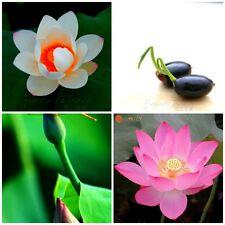Bonsai Lotus Seeds Combo Pack : Red Heart Lotus || Sacred Pink Lotus || 10 Seeds