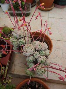 lot de succulentes varié +boutures d aéoniums  reprise façile , peu d entretien