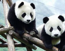 PANDA BEAR 8X10 GLOSSY PHOTO PICTURE IMAGE #2