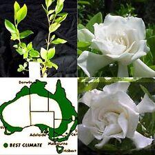 8 Gardenia florida Scented flowers Garden Plants Shade Shrubs augusta Hedge Pot