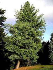 Pinus wallichiana - himalaja-kiefer - frische Samen