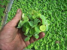 "100 Water Lettuce""100% Organic Grown""Licensed Grower""Water Pond,Floating,Plants"