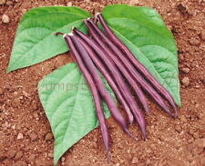 Royal Burgundy Bush Beans bright Violet Purple Kids love 30 seed Organic NON-GMO