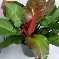 McCauley's Finale Philodendron- live plant in a 10 inch Growers Pot