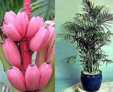 zwei tolle Zimmer-Palmen im Set: witzige ROSA BANANE und luftklare BERGPALME
