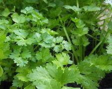 150 Graines de Coriandre plantes aromatique jardins fleurs legumes méthode BIO