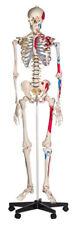 Menschliches Stativ Skelett MODELL Anatomie Lehrmodell Poster Abdeckung 180cm