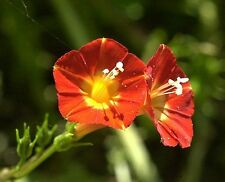 Red Morning Glory, rare honey bee butterfly vine IPOMOEA COCCINEA seed 20 seeds