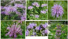 Beautiful * Purple Lavender * Monardo Bee Balm 25 + Flower Seeds