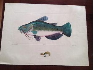 Dan Mitra Colored Fish Etching Brown Bullhead Catfish Fishing Art Print Limited
