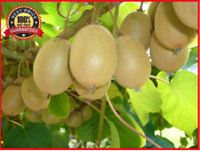 200++ KIWI VINE * Sweet Kiwi Fruit Seeds * HARDY * CLIMBING * EDIBLE FRUIT *!HOT