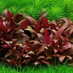Alternanthera reineckii-emerged Live Aquarium Plant Fish tank Tropical Plant